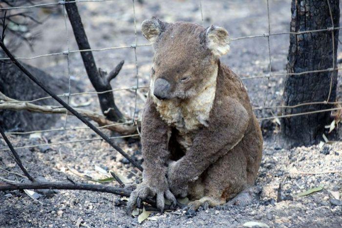HUMANIZAM NA DJELU: Mogu li ženske grudi spasiti koale u Australiji?