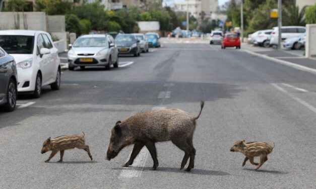 DIVLJE METROPOLE: Životinje koje su  naselile gradove i tamo uspjele opstati